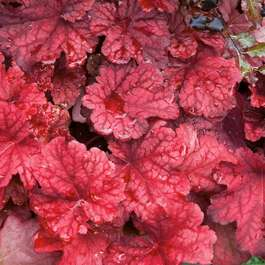 Heuchera Autumn Leaves