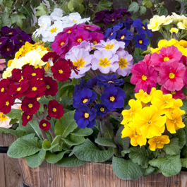 Polyanthus Pacific Giant Mixed