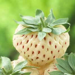 Strawberry Pineberry