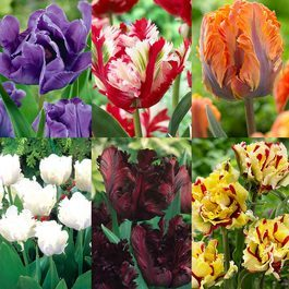 Tulip Parrot Collection