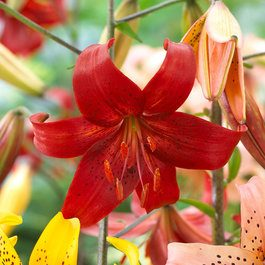 Lily Red Life