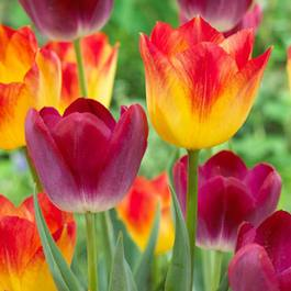 Tulip Pittsburgh/Suncatcher Collection