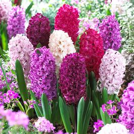 Hyacinth Passion Mixed 14/15cm
