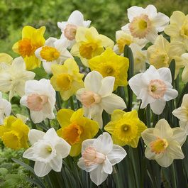 Free Trumpet Daffodils Mixed