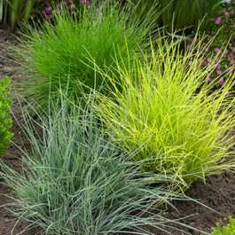 Festuca Grass Collection