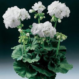 Geranium Grandeur Power White
