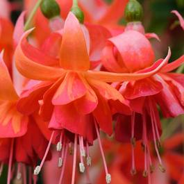 Fuchsia Dancing Flame AGM