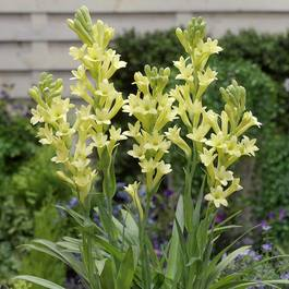 Polianthes tuberosa Yellow Baby