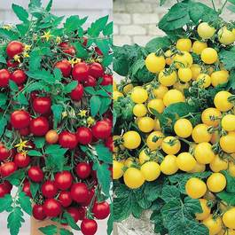 Trailing Tomato Collection
