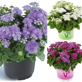 Ageratum Ariella Collection