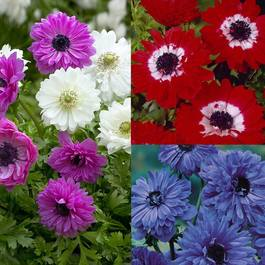Anemone St. Brigid Collection