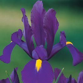 Iris Dutch Purple Sensation