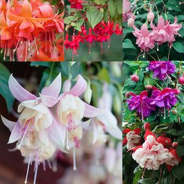 Fuchsia Award Winning Basket Collection