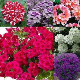 Verbena Samira Collection