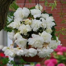 Buy Begonia Giant Cascading White J Parkers