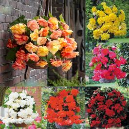 Giant Cascading Begonia Collection