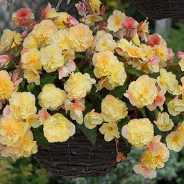 Begonia Sweet Spice Citrus