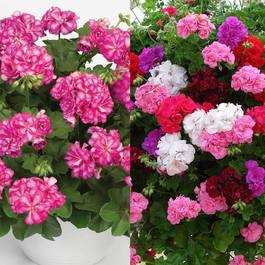 Geranium Double Trailing Collection