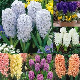 Hyacinth Bedding Size Collection 14-15cm