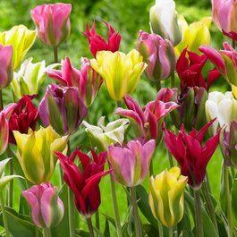 Buy Viridiflora Tulips Mixed 10 11cm Bulbs J Parkers