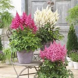 Astilbe Dwarf Patio Music Collection