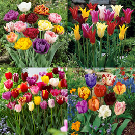 Tulip Mixture Collection 10/11cm Bulbs