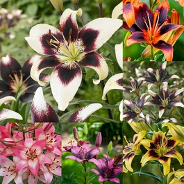 Lily Bi-Colour Asiatic Collection