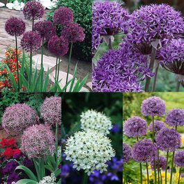 Allium Designer Collection