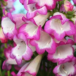 Penstemon Pensham Laura
