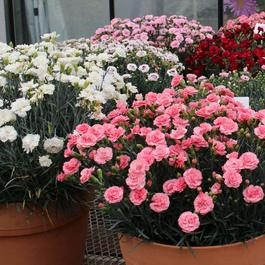 Dianthus Scent First Mixed
