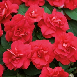 Impatiens Double Diadem Red