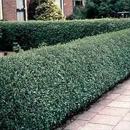 Privet Hedging (Green)