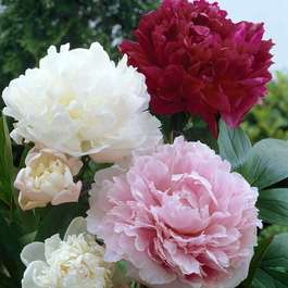 Peony Double Flowering Collection