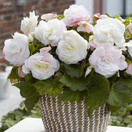 Begonia Mighty Mini White
