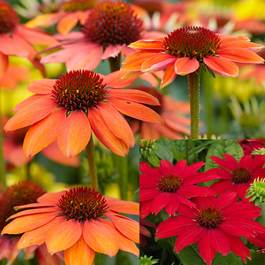 Echinacea Sombrero Collection