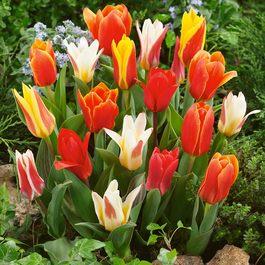 Buy Tulip Greigii Kaufmannia Mixed Bulbs J Parkers