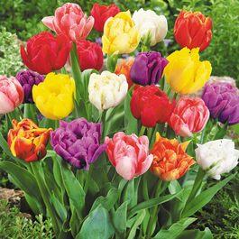 Buy Tulip Double Early Mixed J Parker Dutch Bulbs