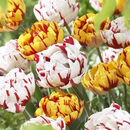 Tulip Golden Nizza/Carnival De Nice Collection