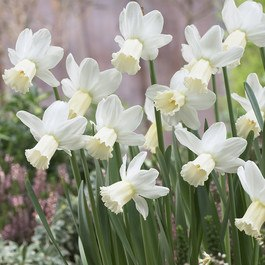 Narcissi Surfside