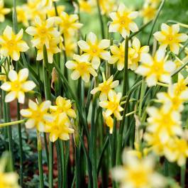 Buy Narcissi New Baby 810cm J Parker Dutch Bulbs