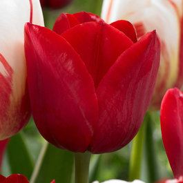 Tulip Hollandia