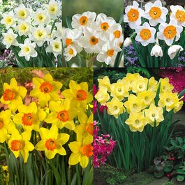 Daffodil English Grown Collection