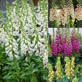 Digitalis Hardy Collection (Foxgloves)