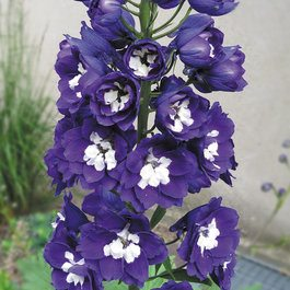 Delphinium Magic Fountain Blue
