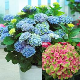 Hydrangea Change Colour Collection