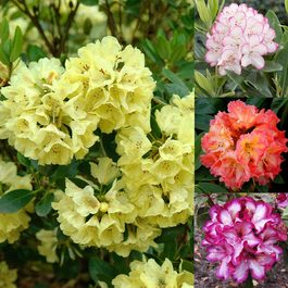 Rhododendron Collection