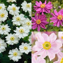 Anemone japonica Collection