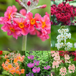 Primula Candelabra Collection