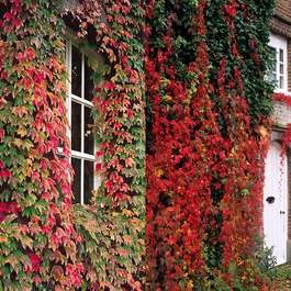 Parthenocissus - Climbing Ivy Collection