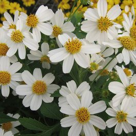 Bidens Moonlight